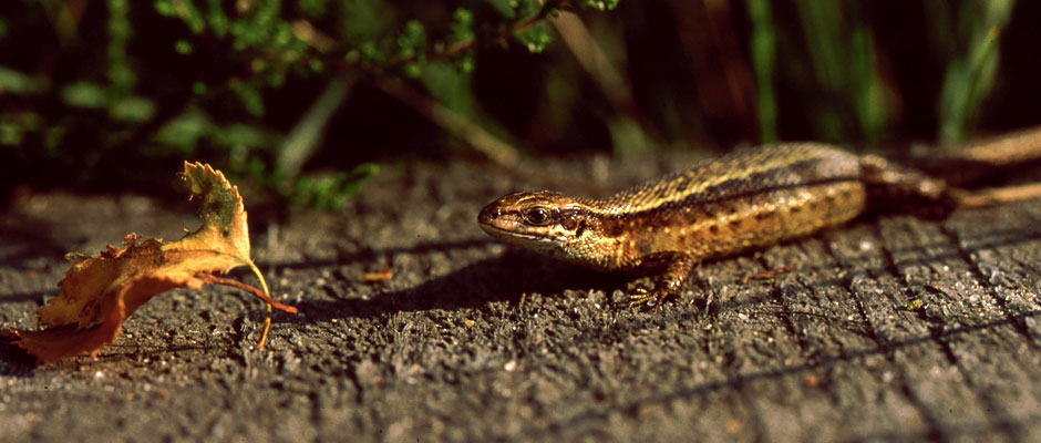 Reptile surveys – Lizard
