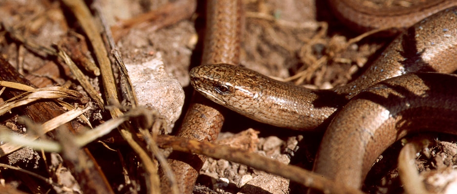 Reptile surveys