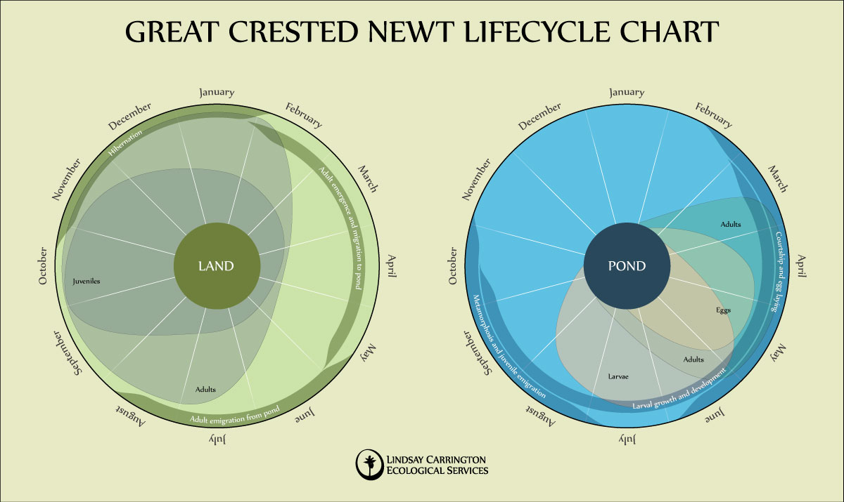 Newt lifecycle chart