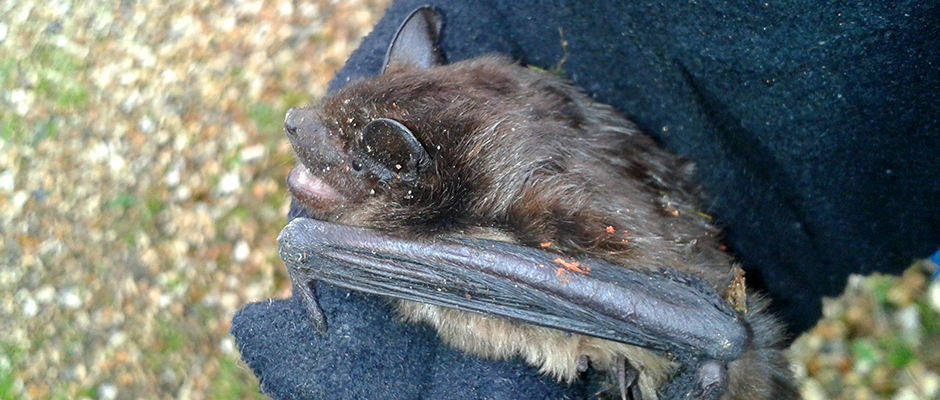 Bat Surveys – handling