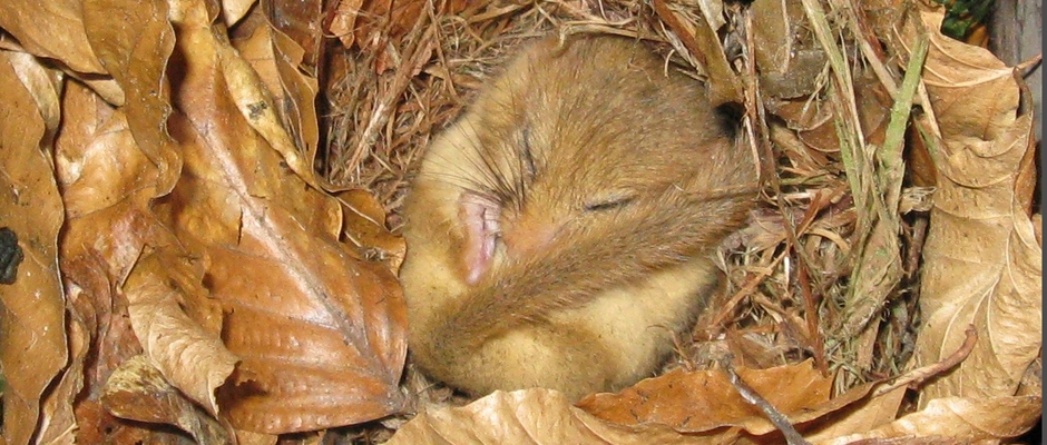 Dormice surveys and mitigation