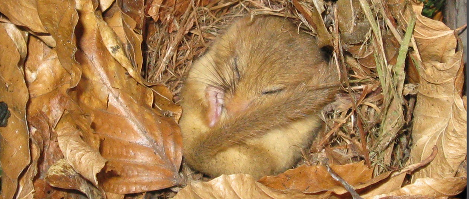 dormouse surveys and mitigation