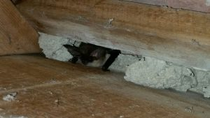 Grey long eared bat